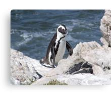 African Penguin Canvas Print
