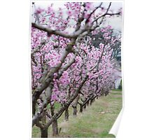 Clouded Cherry Blossoms #2 Poster