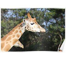 Gallant Giraffe Poster