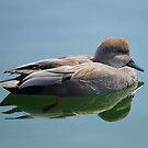 Male Gadwall Duck  by Elaine  Manley