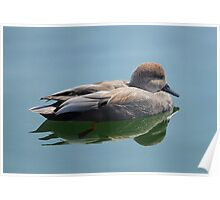 Male Gadwall Duck  Poster
