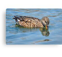 Female Gadwall Duck Canvas Print