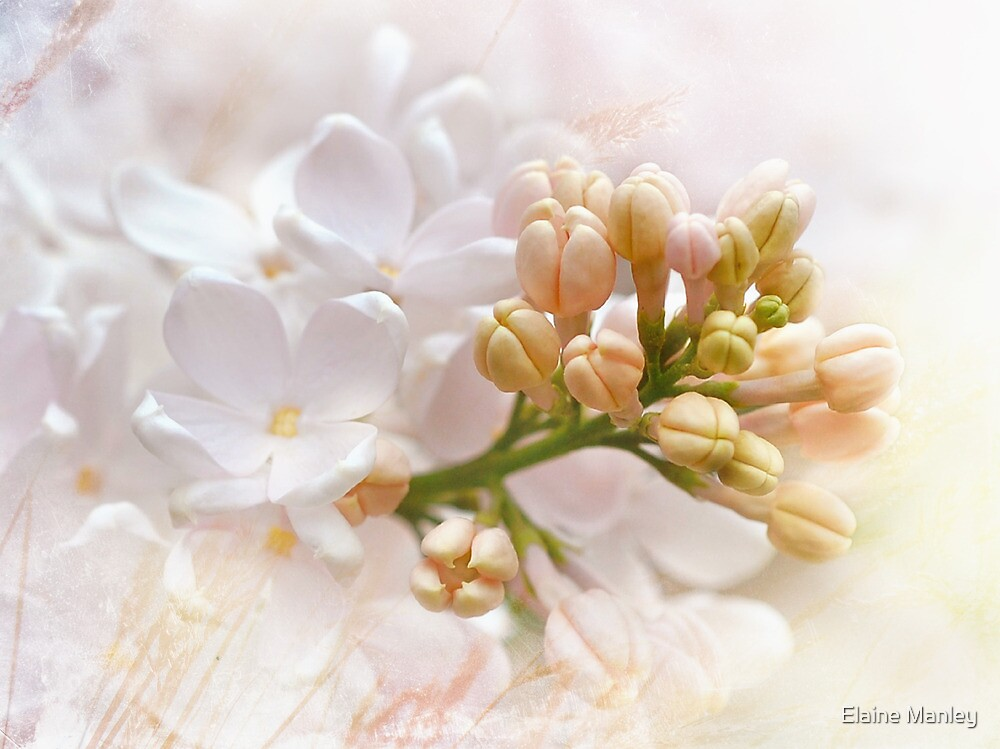 Spring Lilacs by Elaine  Manley