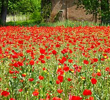red poppies 3 by Anne Scantlebury