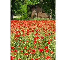 red poppies 3 Photographic Print