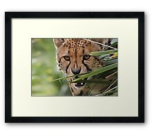 Cheetah Stalk Framed Print