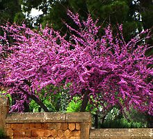 Judas Tree by jules572