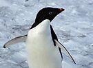 Adelie Penguin Portrait by Carole-Anne
