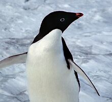 Adelie Penguin Portrait by Carole-Anne
