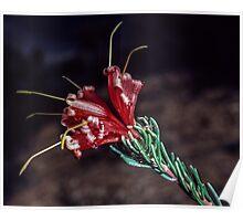 Red flower Bluff Knoll Stirling Ranges Western Australia 19820830 0050  Poster