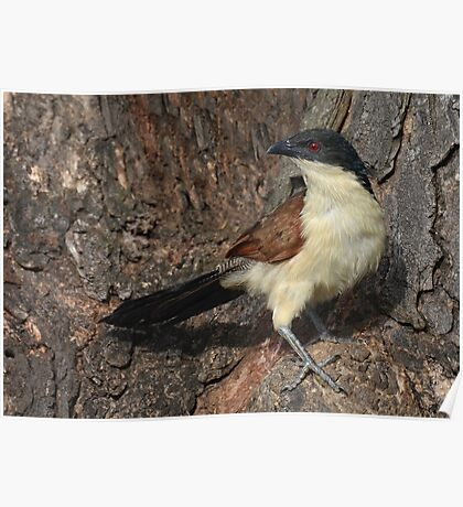 Coucal uncovered........... Poster