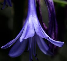Purple Bell by ZWC Photography