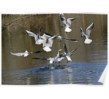 Squabbling Gulls Poster