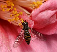 Episyrphus balteatus or Hoverfly by lynn carter
