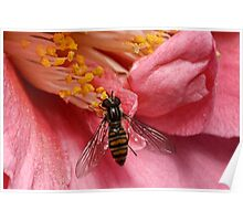 Episyrphus balteatus or Hoverfly Poster