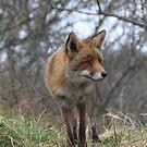 Red Fox 3368 by DutchLumix