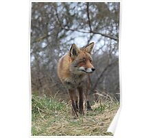 Red Fox 3368 Poster