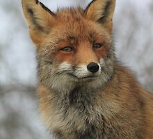 Red Fox 3452 by DutchLumix