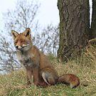 Red Fox 3443 by DutchLumix