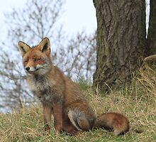 Red Fox 3443 by DutchLumix