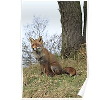 Red Fox 3443 Poster