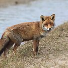 Red Fox 3496 by DutchLumix
