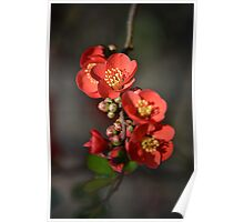 Red Flowering Quince Poster