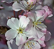 Pink Spring Blossom by Colin Metcalf