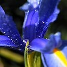 Blue Iris...... by Joyce Knorz