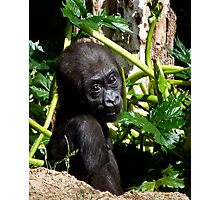 Baby Western Lowland Gorilla Photographic Print