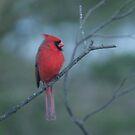 cardinal by ffuller