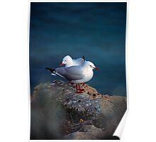 silver gulls (Yorke Peninsula) Poster