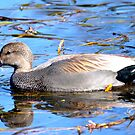 Just Another Beautiful Duck! by Carol Clifford