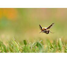 Bee flight. Photographic Print