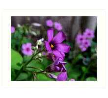 Purple Passion - Oxalis Flower, Sherman, Texas, USA Art Print