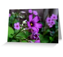 Purple Passion - Oxalis Flower, Sherman, Texas, USA Greeting Card
