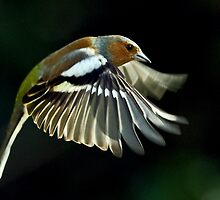 Chaffinch in flight by Russell Couch