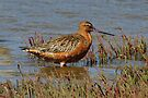 Bar-tailed Godwit in Breeding Plumage taken Stockton Sandspit by Alwyn Simple