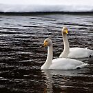 Whooper swans by ilpo laurila