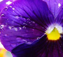 Purple Pansy by heatherjstewart