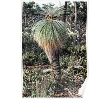 Grass tree Stirling drive Stirling Ranges Australia 19820830 0061  Poster