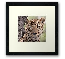 Dominant male leopard(please stop raining i can`t see even up here!) Framed Print