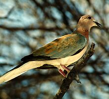 Laughing Dove by Carole-Anne
