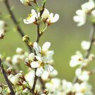 Springtime Blossoms by lorilee