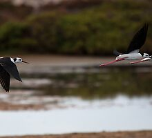 Flying Stilts by Ian Creek