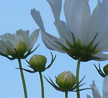 White Cosmos Flowers by francelal