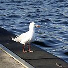 Seagull at Albert Park Lake by SophiaDeLuna