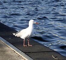 Seagull at Albert Park Lake by SophiaDeLuna