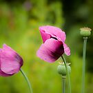 Purple poppies by Gillian Cross