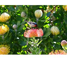 Lesser Double-collared Sunbird on Pincushion Photographic Print